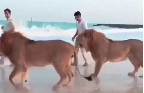 VIDEO: Lions spotted taking a walk at Jumeira Beach near Burj Al Arab, Dubai